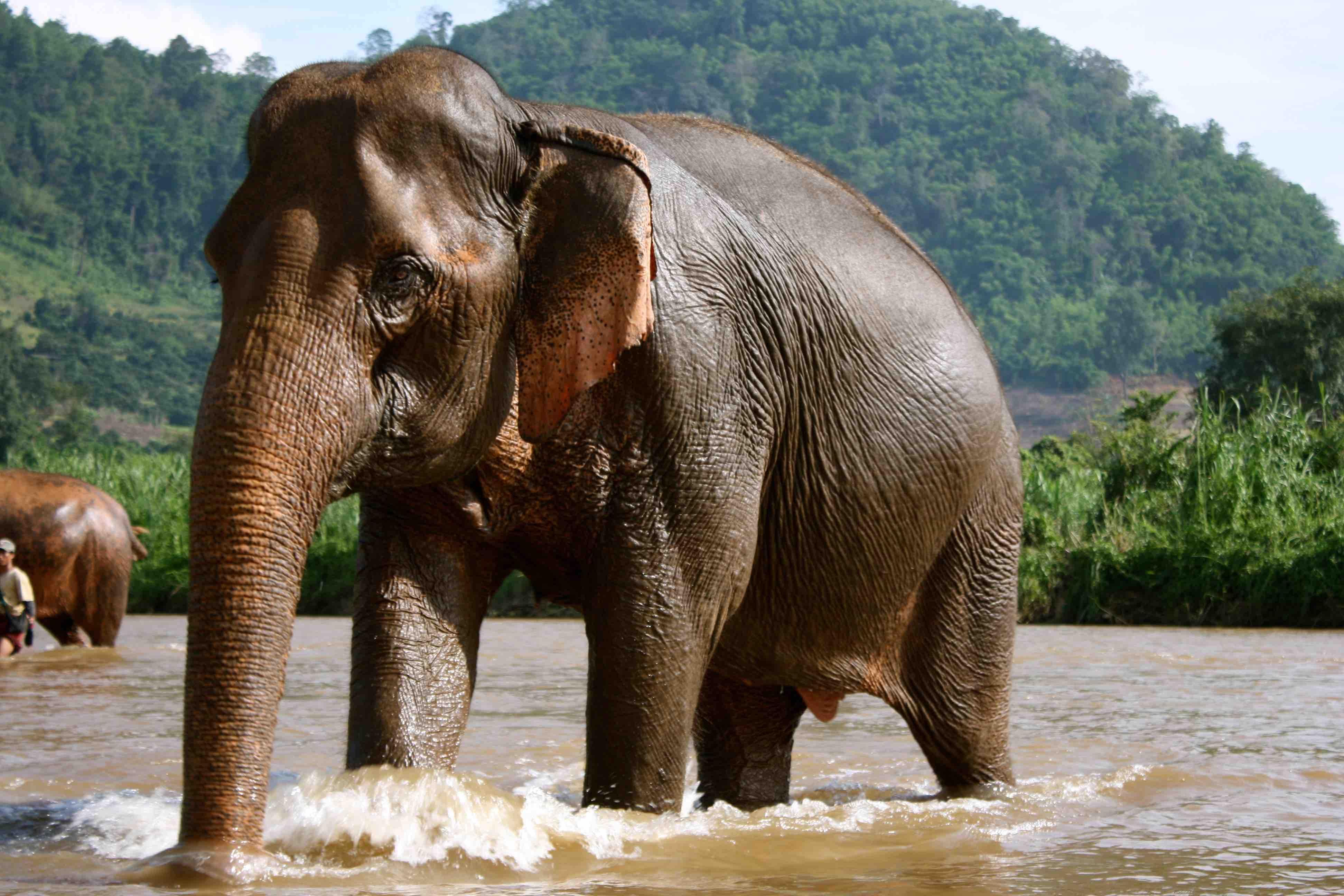 World___Thailand_Elephant_bathing_in_the_resort_of_Chiang_Rai__Thailand_061869_
